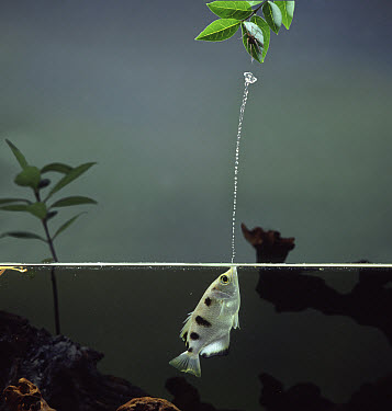 Largescale Archerfish (Toxotes chatareus) jetting water to catch spider prey, native to southeast Asia  -  Kim Taylor/ npl