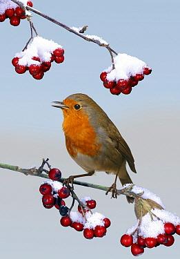 European Robin (Erithacus rubecula) singing from Cotoneaster (Cotoneaster sp) bush, England *digital composite*  -  Kim Taylor/ npl