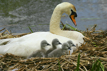 Mute Swan (Cygnus olor) with day old cygnets in nest, England  -  Kim Taylor/ npl