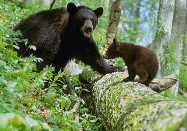Black Bear (Ursus americanus) cub and adult standing on fallen tree trunk, North America  -  S & D & K Maslowski/ FLPA