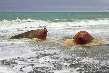 Southern Elephant Seal (Mirounga leonina) bull chasing his opponent who lost a long fight for access to females during spring breeding season, St. Andrews Bay, South Georgia Island  -  Yva Momatiuk & John Eastcott