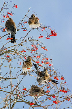 Fieldfare (Turdus pilaris) group eating berries, Germany  -  Konrad Wothe