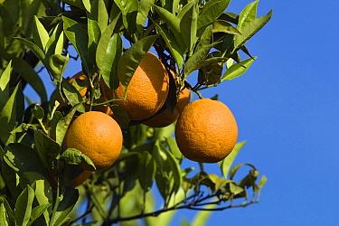 Sweet Orange (Citrus sinensis) fruit, Greece  -  Konrad Wothe