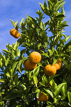 Tangerine (Citrus reticulata) fruit hanging on tree, Greece  -  Konrad Wothe