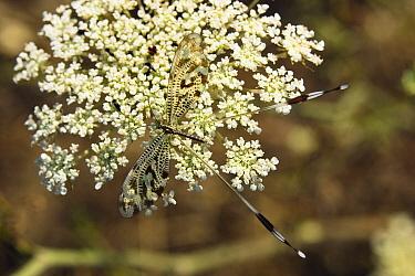 Lace-wing Butterfly (Nemoptera sinuata) on flower, Peloponnese, Greece  -  Konrad Wothe