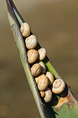 Land Snail (Helicella sp) group gathers in estivation to delay desiccation, Peloponnese, Greece  -  Konrad Wothe