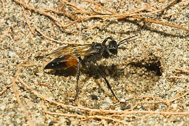 Sand Wasp (Sphecidae) at nest, Peloponnese, Greece  -  Konrad Wothe