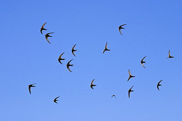Common Swift (Apus apus) flock flying, Greece  -  Konrad Wothe