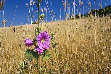 Smaller Tree-mallow (Lavatera cretica) flower, Peloponnese, Greece  -  Konrad Wothe