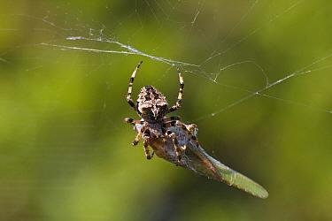 Great Green Bush Cricket (Tettigonia viridissima) prey caught by spider, Peloponnese, Greece  -  Konrad Wothe