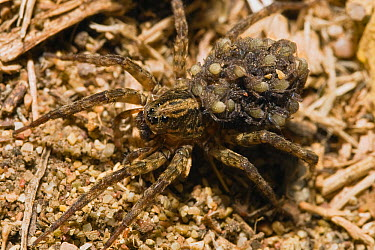 Wolf Spider (Lycosidae) mother carrying young on her back, Peloponnese, Greece  -  Konrad Wothe