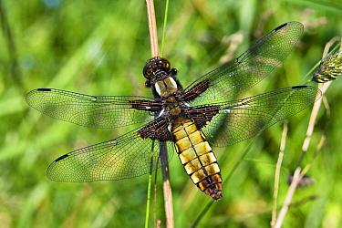 Broad-bodied Chaser (Libellula depressa) dragonfly female, Germany  -  Konrad Wothe