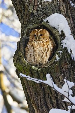 Tawny Owl (Strix aluco) in nest hole, Bavaria, Germany  -  Konrad Wothe