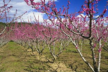 Almond (Prunus dulcis) trees blooming, Provence, France  -  Konrad Wothe