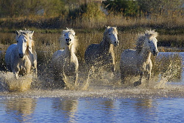 Camargue Horse (Equus caballus) group running in water, Camargue, France  -  Konrad Wothe