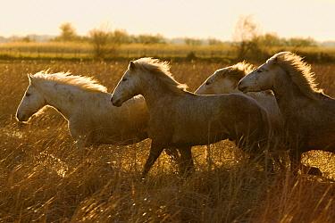 Camargue Horse (Equus caballus) group running at sunset, Camargue, France  -  Konrad Wothe