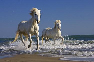 Camargue Horse (Equus caballus) pair running on beach, Camargue, France  -  Konrad Wothe