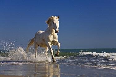 Camargue Horse (Equus caballus) running on beach, Camargue, France  -  Konrad Wothe