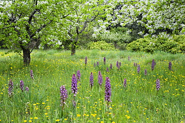 Orchard with flowering orchids and wildflowers, Provence, southern France  -  Konrad Wothe