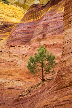 Pine (Pinus sp) tree in ochre quarry of Roussillon, Languedoc-Roussillon, Provence, southern France  -  Konrad Wothe