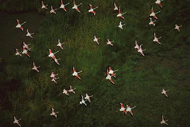 Lesser Flamingo (Phoenicopterus minor) flock flying, Lake Bogoria, Kenya  -  Richard Du Toit