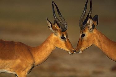 Impala (Aepyceros melampus) males greeting, Chobe National Park, Botswana  -  Richard Du Toit