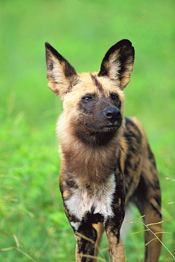 African Wild Dog (Lycaon pictus) portrait, Chobe National Park, Botswana