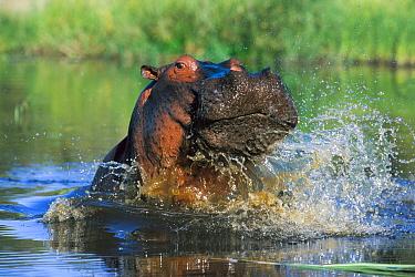 Hippopotamus (Hippopotamus amphibius) male threat displaying, Khwai River, Botswana
