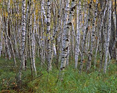 European White Birch (Betula pendula) grove, Cape Breton Highlands National Park, Nova Scotia, Canada  -  Scott Leslie