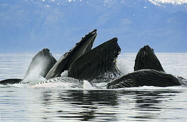 Humpback Whale (Megaptera novaeangliae) group feeding, Chatham Strait, Alaska  -  Kevin Schafer