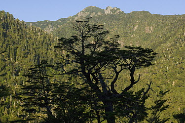 Coihue Tree (Nothofagus dombeyi), Alerce Andino National Park, Chile  -  Kevin Schafer