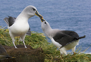 Grey-headed Albatross (Thalassarche chrysostoma) pair courting, South Georgia Island  -  Kevin Schafer