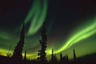 Aurora borealis over boreal forest, Fairbanks, Alaska  -  Kevin Schafer