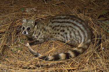 Large-spotted Genet (Genetta tigrina), South Africa  -  Kevin Schafer