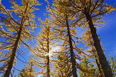 Subalpine Larch (Larix lyallii) trees in fall, Alpine Lakes Wilderness, Washington  -  Kevin Schafer