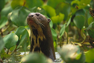 Giant River Otter (Pteronura brasiliensis) peeking out of water amid Common Water Hyacinth (Eichhornia crassipes) plants, Pantanal, Brazil  -  Kevin Schafer