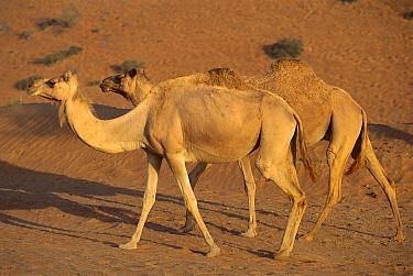 Dromedary (Camelus dromedarius) camel pair walking, Oman  -  Kevin Schafer