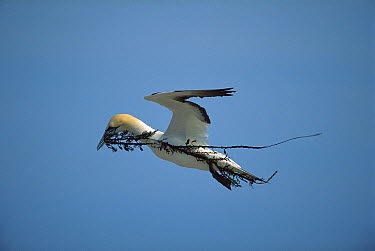 Australian Gannet (Morus serrator) male carrying nesting materials, New Zealand  -  Kevin Schafer