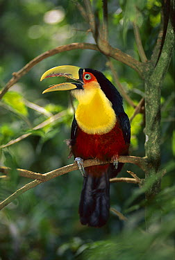 Red-breasted Toucan (Ramphastos dicolorus) calling, Itatiaia National Park, Brazil  -  Kevin Schafer