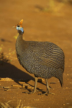 Helmeted Guineafowl (Numida meleagris), Samburu National Park, Kenya  -  Kevin Schafer