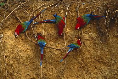 Red and Green Macaw (Ara chloroptera) group at clay lick, Madre de Dios River, Peru  -  Kevin Schafer