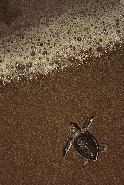 Green Sea Turtle (Chelonia mydas) hatchling going out to sea, Tortuguero National Park, Costa Rica  -  Kevin Schafer