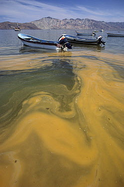 Red tide, and algal bloom of phytoplankton, Sea of Cortez, Mexico  -  Kevin Schafer