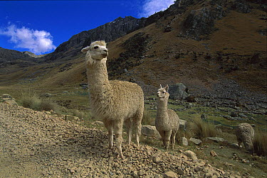 Alpaca (Lama pacos) pair on roadside, Huascaran National Park, Peru  -  Kevin Schafer