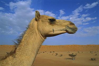 Dromedary (Camelus dromedarius) camel portrait, Oman  -  Kevin Schafer
