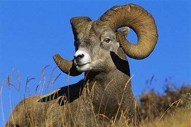 Bighorn Sheep (Ovis canadensis) ram, Jasper National Park, Alberta, Canada  -  Kevin Schafer