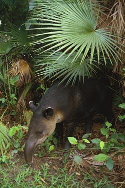 Baird's Tapir (Tapirus bairdii) in rainforest, Central America  -  Kevin Schafer