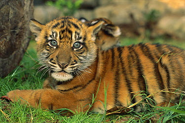 Sumatran Tiger (Panthera tigris sumatrae) cub, endangered species native to Sumatra  -  Kevin Schafer