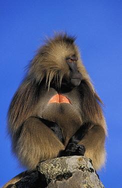 Gelada Baboon (Theropithecus gelada) male, Simien Mountain National Park, Ethiopia  -  Ingo Arndt