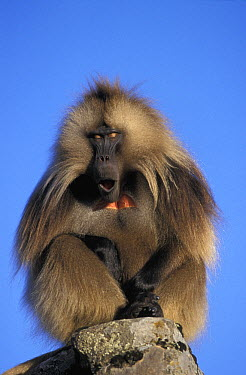 Gelada Baboon (Theropithecus gelada) male calling, Simien Mountain National Park, Ethiopia  -  Ingo Arndt